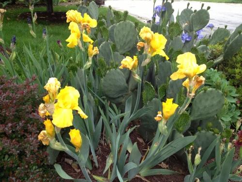 More Iris and cactus